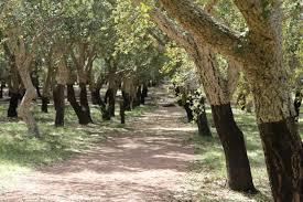 sustainability production cork trees