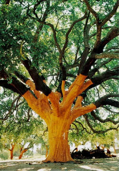 Whistler Tree - Oldest Cork Oak Tree